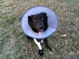 Easing Your Companion's Recovery With an E-Collar After Veterinary Surgery