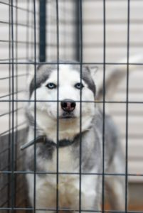 Benefits of Crating Your Dog After Veterinary Surgery