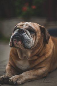 Dog Surgery Spotlight: Correcting Stenotic Nares