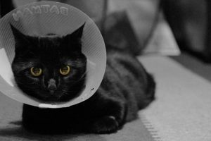 How to Prepare for Soft Tissue Surgery for Cats