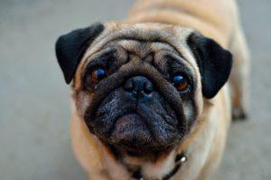 Dog Surgery Spotlight: Treating an Elongated Soft Palate in Brachycephalic Dogs